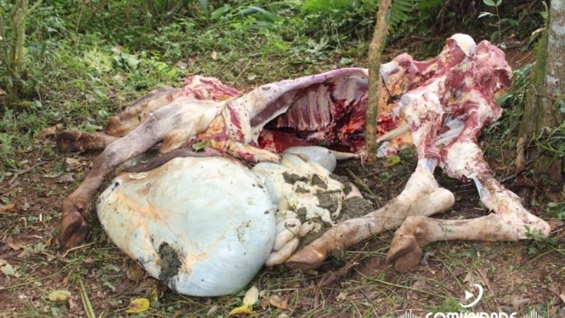 8a5ce8a28da Crime de abigeato com requintes de crueldade - Tribuna Getuliense